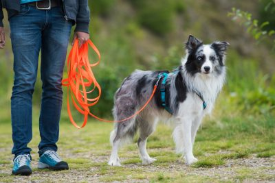 Border Collie an der Schleppleine